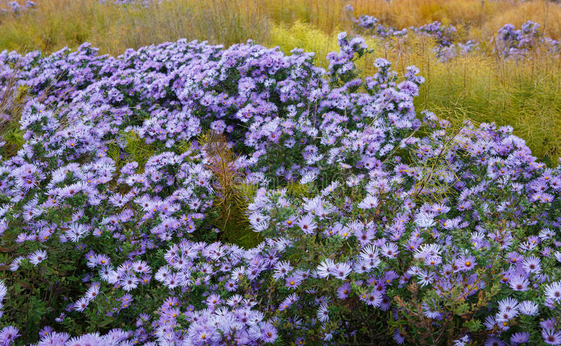 Background Field of Asters. Field of light purple aster flowers in bloom during the autumn season stock images