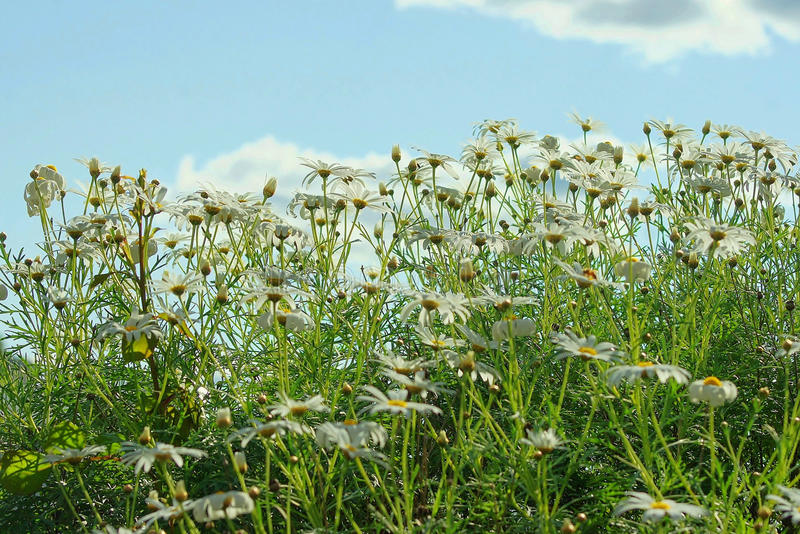 Background Field of Daisies against the blue sky stock image