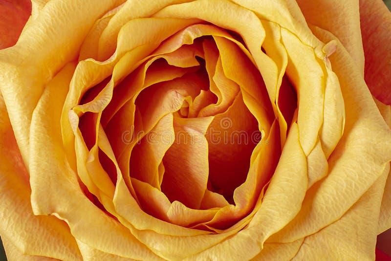Orange, Yellow Rose Background royalty free stock photography