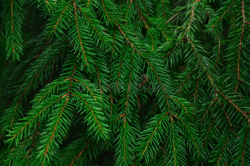 Background from fir needle stock photo
