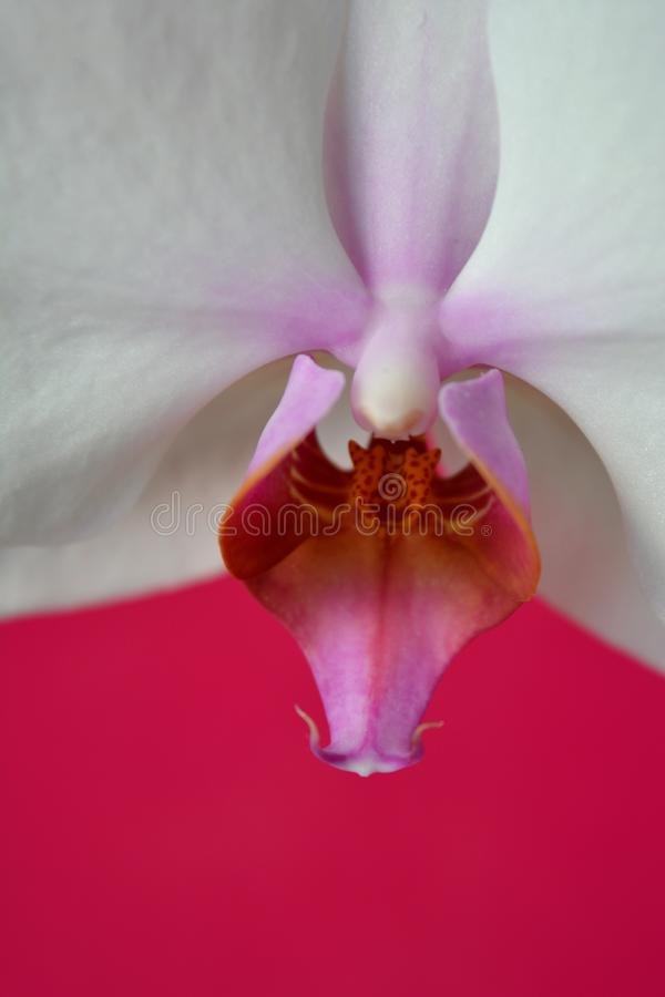 White orchid flower pink texture background stock photography
