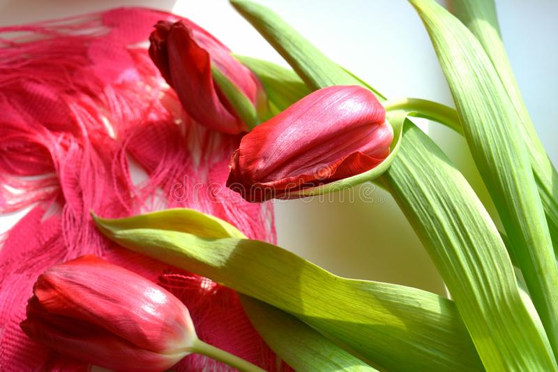 Red tulips spring flowers pink and white background stock photo