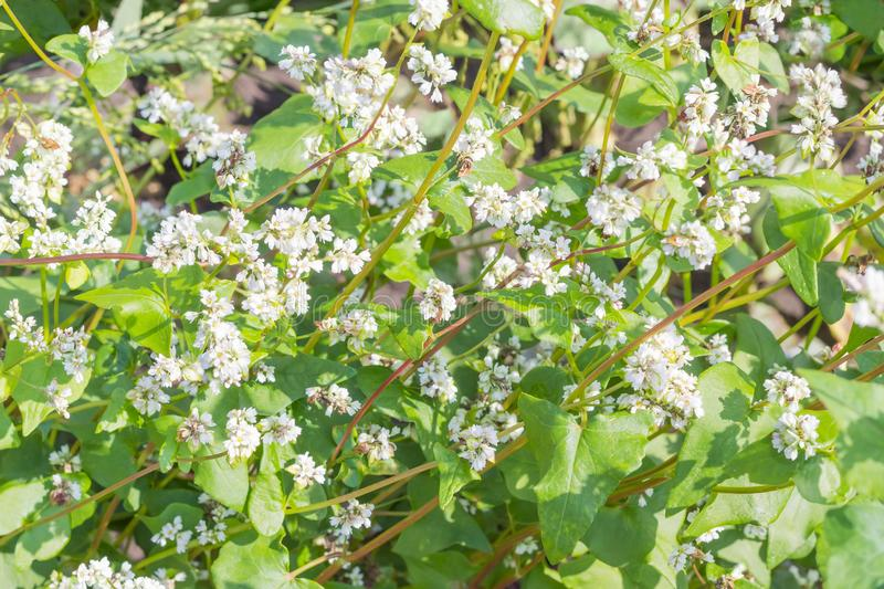 Background of the flowering buckwheat on field stock photo