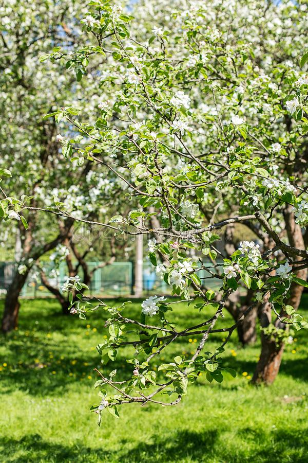 Background with flowering crabapple in the Park in spring sunny stock images