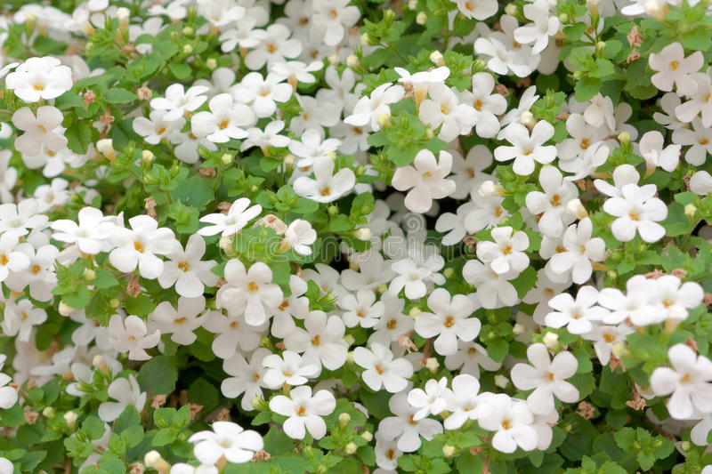 Background of flowers. Background of little white flowers royalty free stock photo