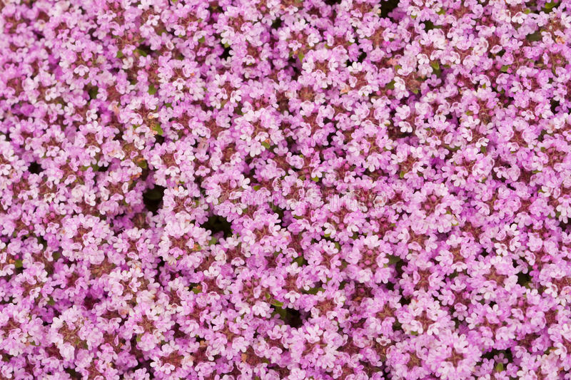 Background of flowers. Background of little white flowers royalty free stock photos