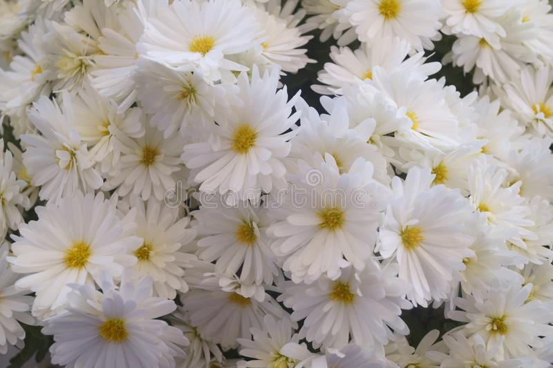 Background with flowers - beautiful white chrysanthemum royalty free stock photos