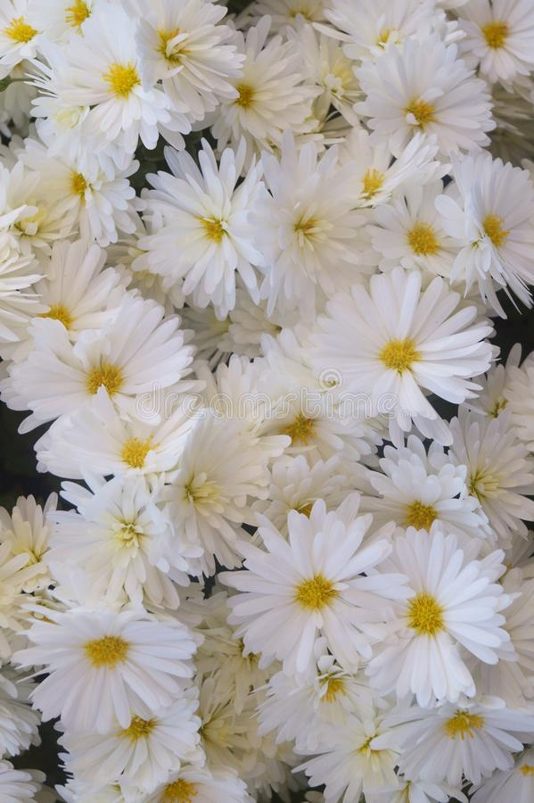 Background with flowers - beautiful white chrysanthemum royalty free stock photography
