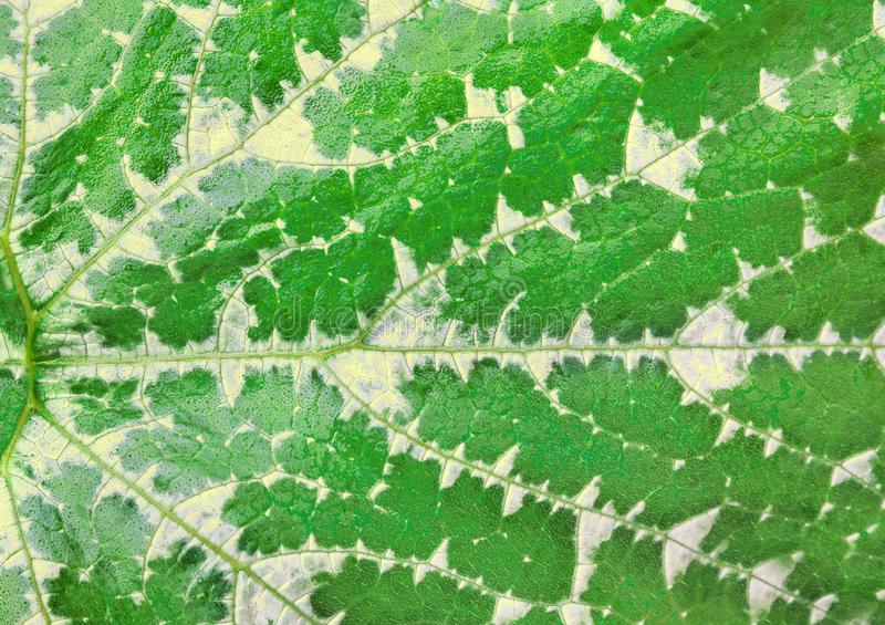Background from fresh green leaf macro, Zucchin stock images