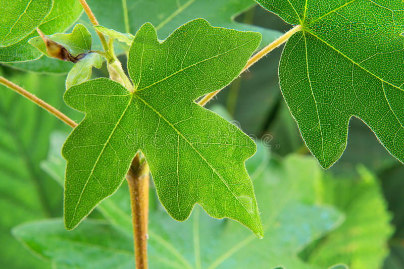 Background of fresh green leaves royalty free stock photo