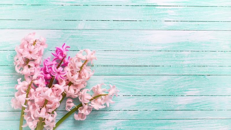 Background with fresh pink flower hyacinths on turquoise paint stock image
