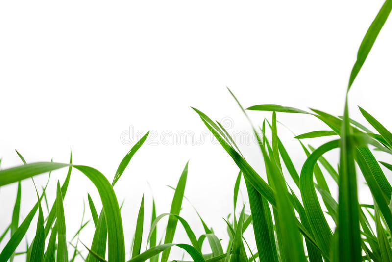 Background of freshly grown grass, shallow depht of field. Freshly grown grass, shallow depht of field royalty free stock photo