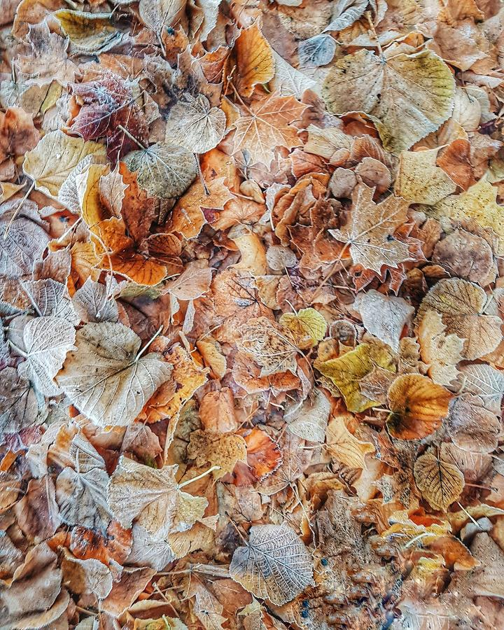 Frozen leaves on the ground. Background of frozen autumn leaves on the ground stock photography