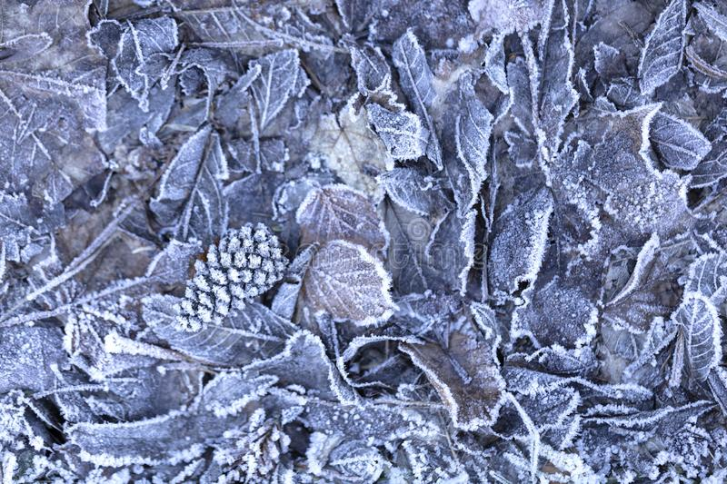 Background of frozen leaves. Background of dried frozen leaves on the forest floor at sunrise on a winter morning, photo with blue and brown tones stock images