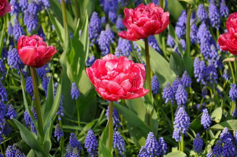 Background grape hyacinth Muscari and pink tulips flowering. Macro of blue Muscari flower meadow stock images