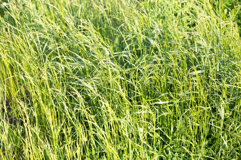 Background of grass fescue in the rays of the setting sun. The Plant belongs to the loose grasses royalty free stock photography