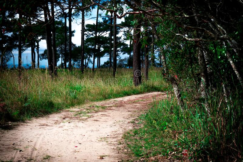 Background of grass path and pine tree. Forest curve path pine tree and grass sand road blue sky royalty free stock images