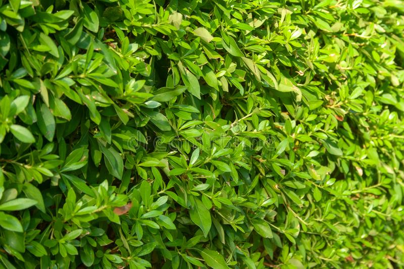 Background of green bush royalty free stock images