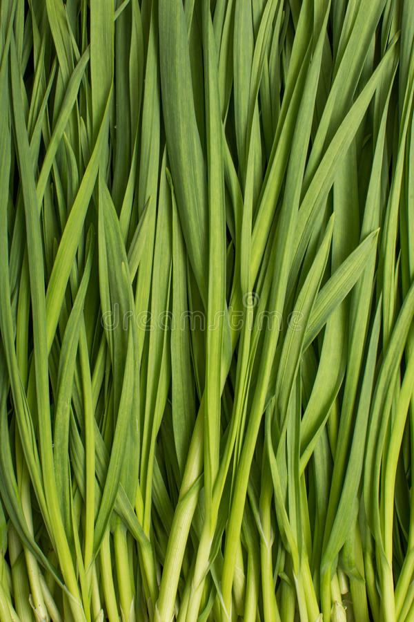 Download Chives stock image. Image of fruit, isolated, spice, onion - 29753617