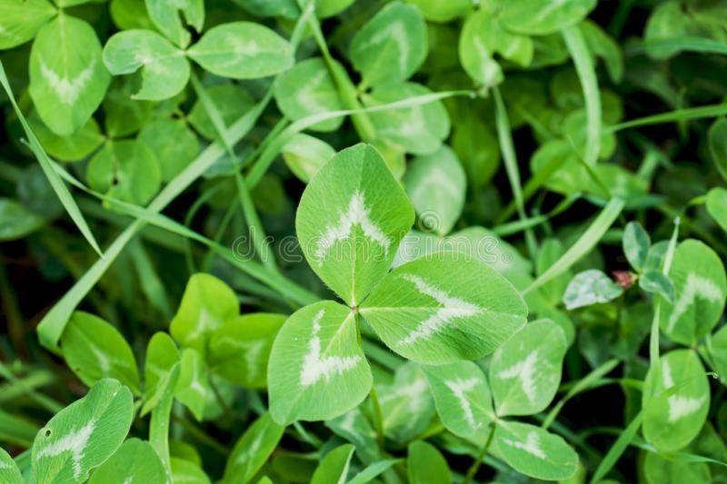 Background of green clover leaves growing on the field.  stock image