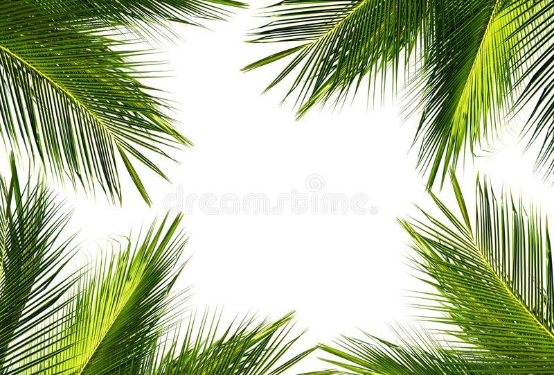 Background of green coconut palm leaf on white sky background stock image