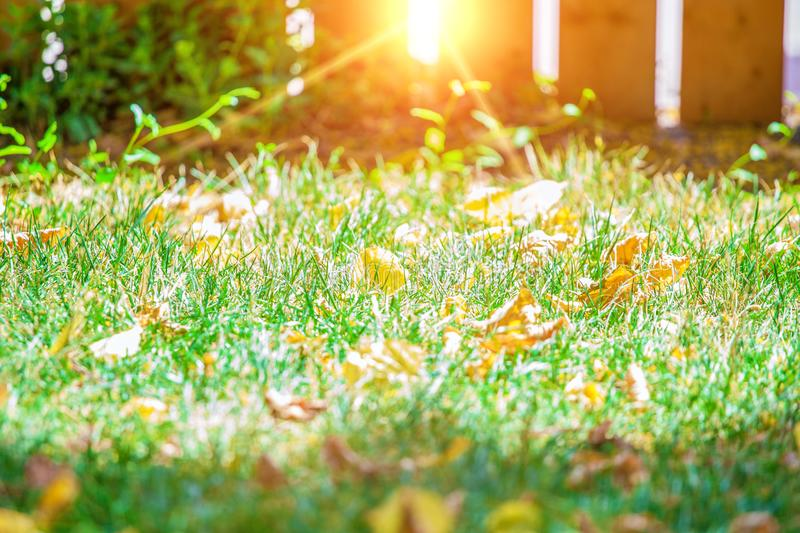 Background of green grass with autumn yellow leaves with sunlight flare stock photography