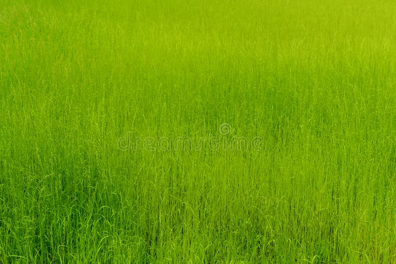 Background of green grass, texture. royalty free stock photography