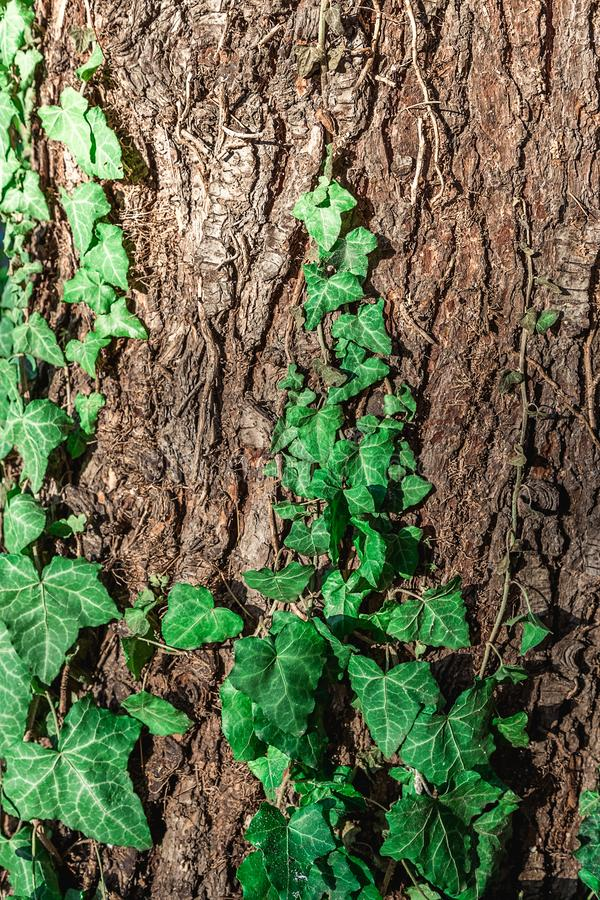 Background of green ivy leaves on tree bark. stock photos