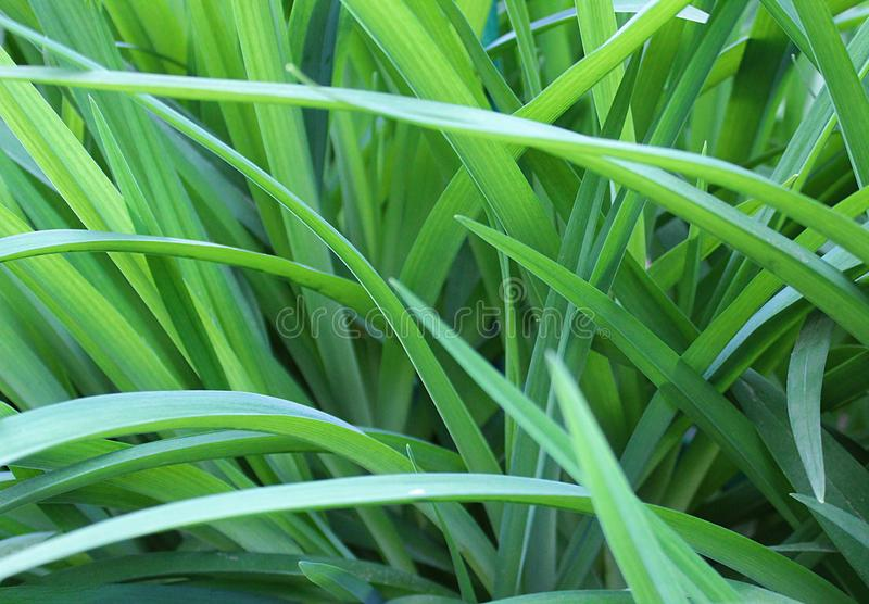 Background green juicy long grass texture royalty free stock image