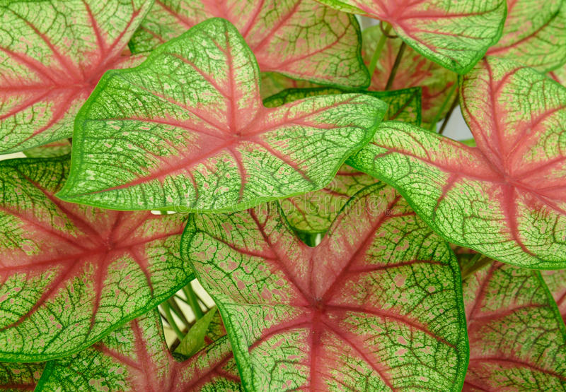 Background Of Green Leave Red Veins Royalty Free Stock Photography