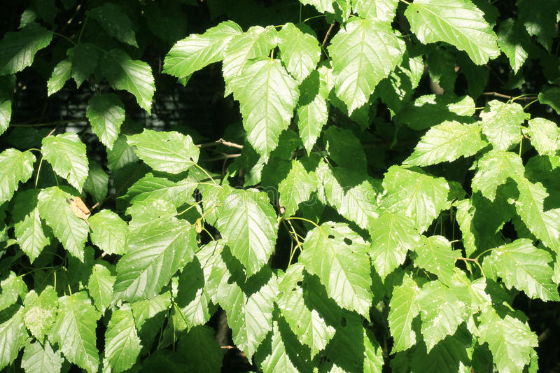 Background of green leaves. Green leaf color in sunny weather. royalty free stock photos