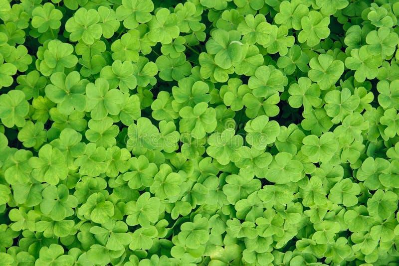 Shamrock. The background of green leaves of shamrock stock photo