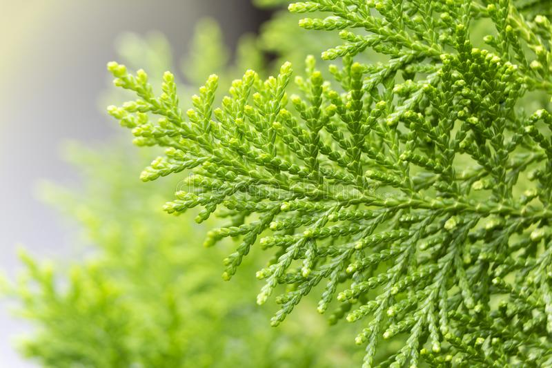 Background of green leaves with sunshine in the morning. Photos closely patterned pine saw clearly.  stock photo