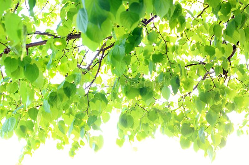 Background of green Linden leaves, out of focus. stock photos