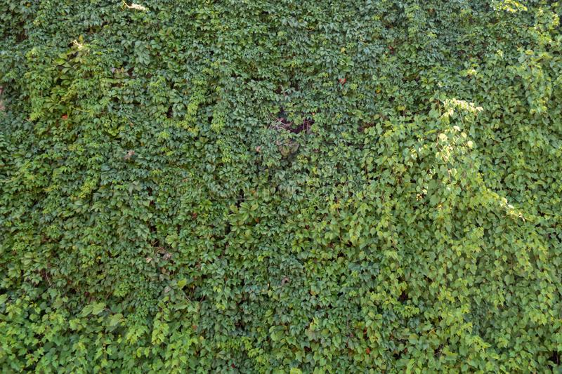 Background from green plants. Hedge. Creative vintage background. Natural, summer, day, outdoors, country, environment, color, chair, season, park, tree stock image