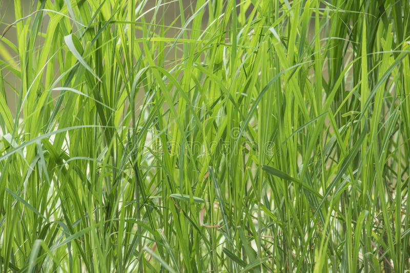Background, green plants, reed leaves stock illustration