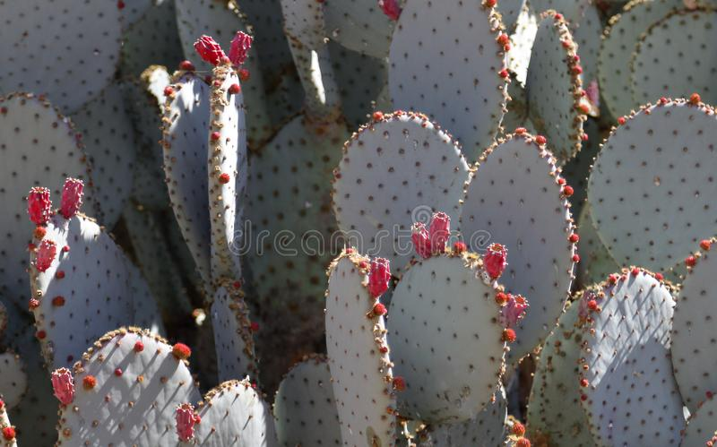 Background green prickly pear cactus with pink unopened flower buds. stock photo