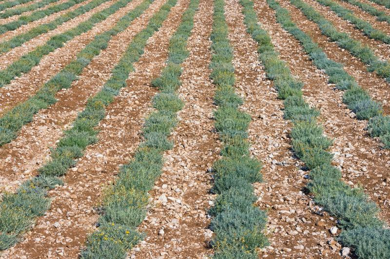 Background with green rows of herb. Field of immortele plants royalty free stock image