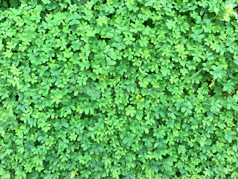 Background of green shamrock clover stock images