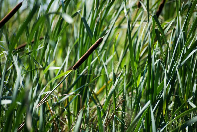 Background of green tall grass and cattail. Is close royalty free stock image