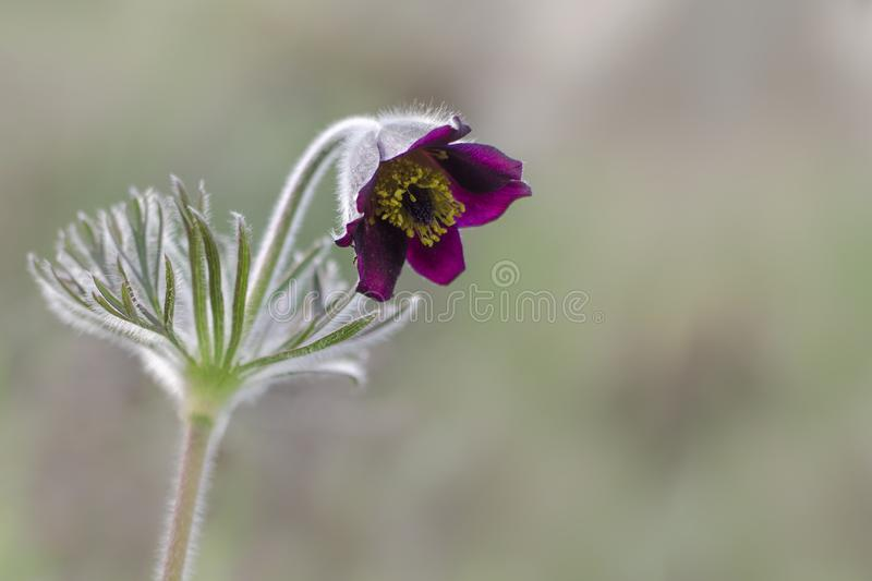 Background for a greeting card with a spring flower. Of Pasque flower stock photos