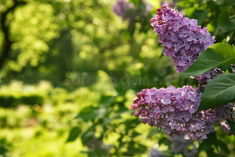 Background for greeting card with syringa flowers royalty free stock image