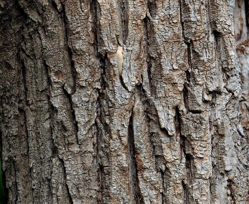 Background Of Grey Brown Tree Bark royalty free stock images