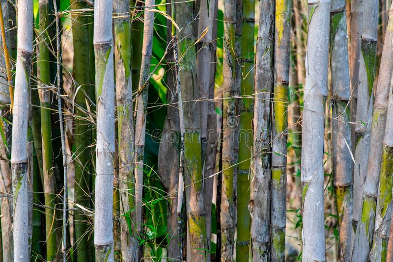 Background of grey stalks and green leaves of bamboo trees. royalty free stock photos