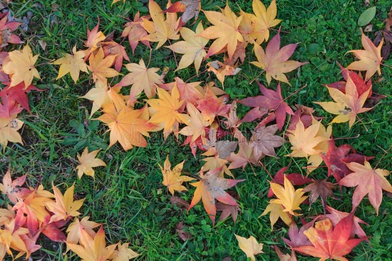 Corful maple leaf. stock image