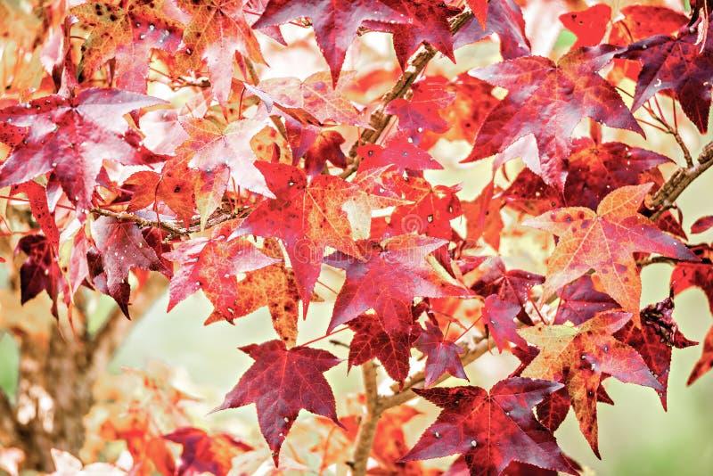 Background group autumn orange leaves royalty free stock image