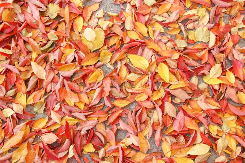 Background group autumn orange leaves. Outdoor. A Background group autumn orange leaves. Outdoor stock photo