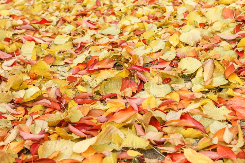 Background group autumn orange leaves. Outdoor. A Background group autumn orange leaves. Outdoor royalty free stock images