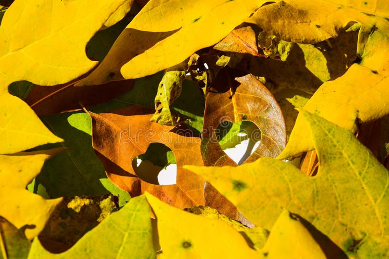 Background group autumn orange leaves. Outdoor.  stock photography