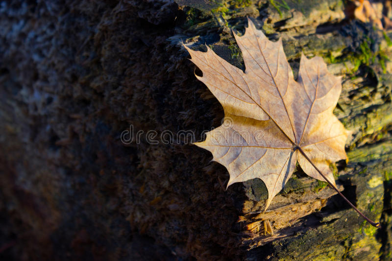 Background group autumn orange leaves. Outdoor. park royalty free stock photo